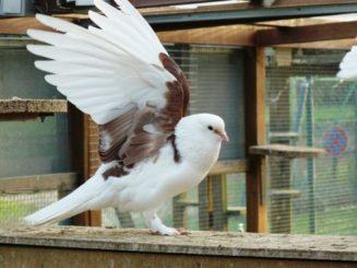Imponierverhalten durch Flügelstellen, F: Prebeck