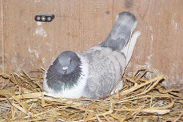 Tauben auf Nest (11)