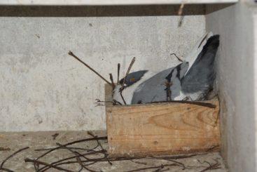 Tauben auf Nest (14)