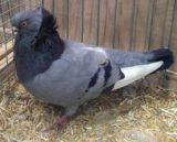 Komorner Tümmler, weißschwing blau mit schwarzen Binden