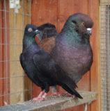 Taubengrößen